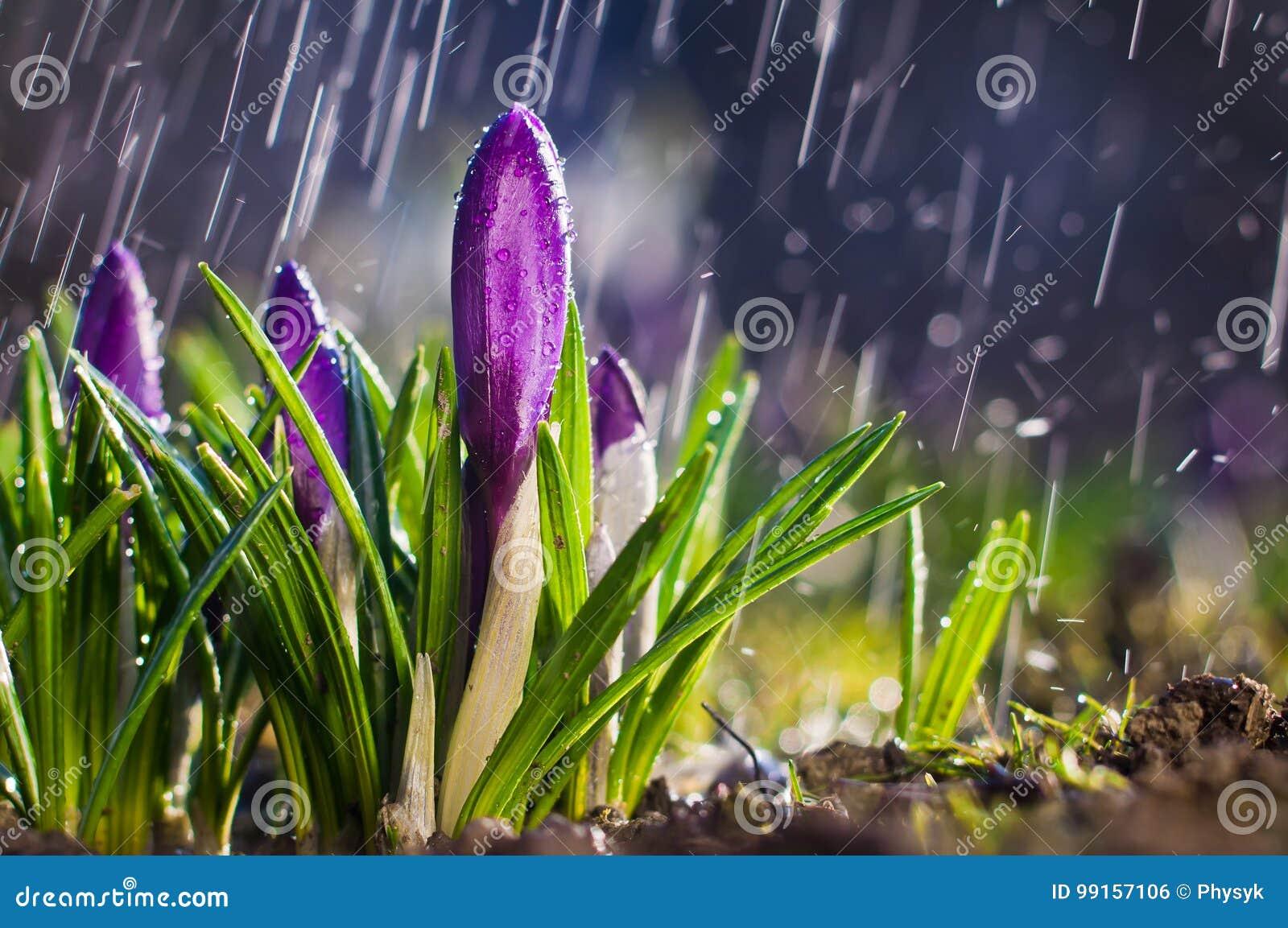 Crocus pourpres bleus de fleur de ressort un jour ensoleillé dans un pulvérisateur de