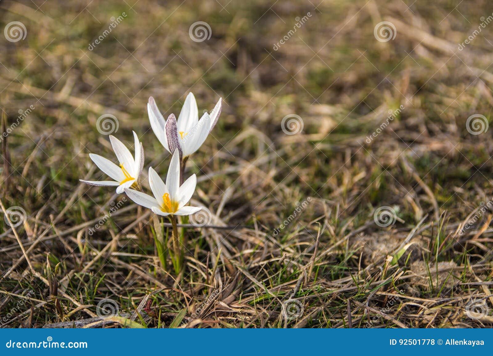 Crocus Primrose First Spring Flowers Almaty Kazakhstan Stock