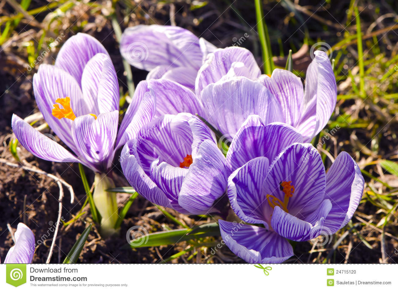 Crocus saffron first spring flower grow in garden stock photo crocus saffron first spring flower grow in garden mightylinksfo