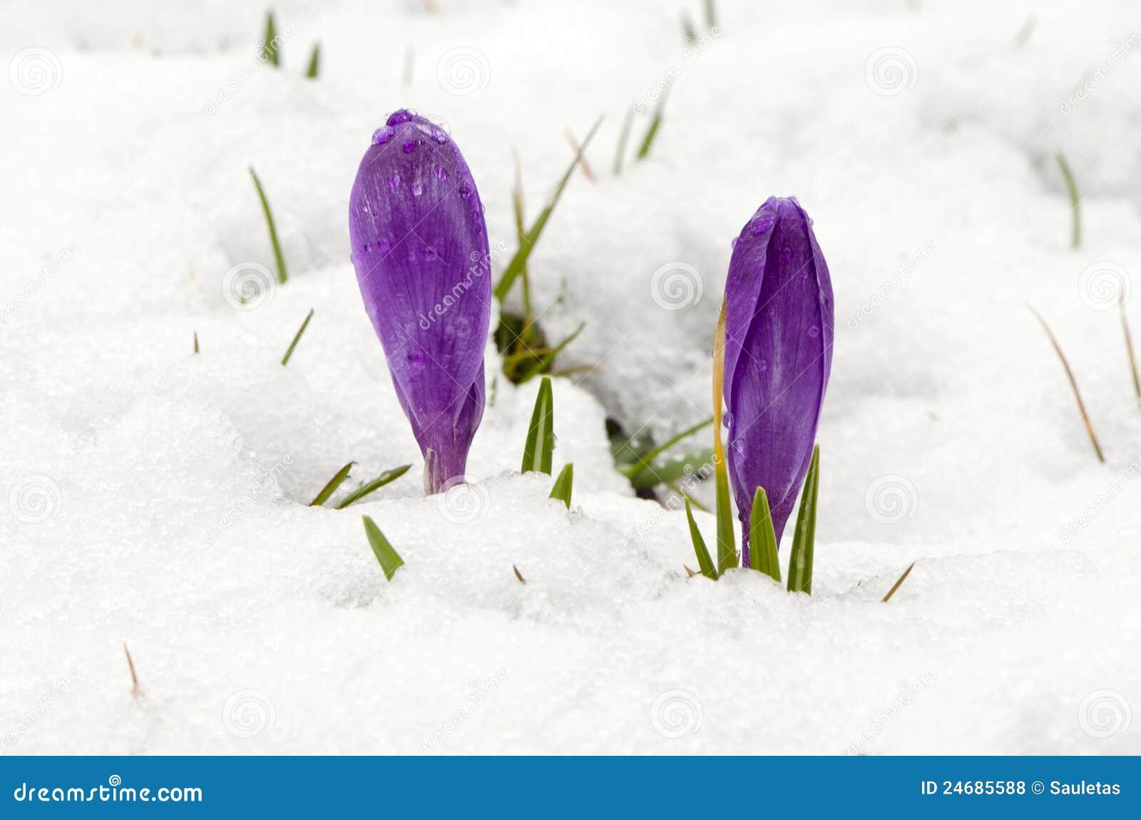 Crocus Saffron Violet Blooms Spring Flowers Snow Stock Photo Image