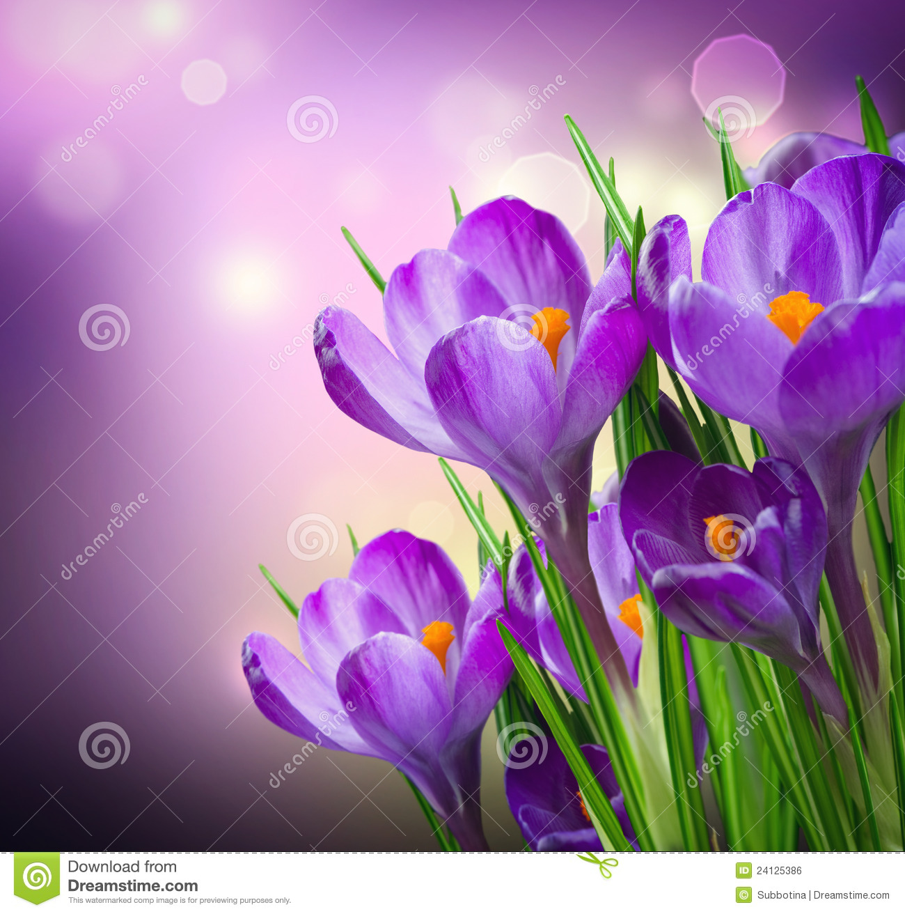 Crocus spring flowers stock photo 24125386 megapixl mightylinksfo