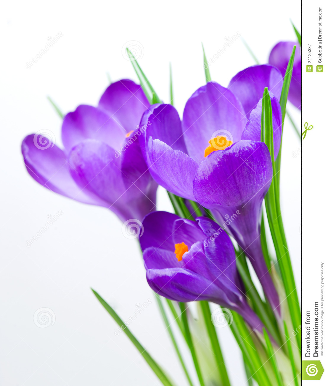 Crocus Spring Flowers Stock Image Image Of Design Growing 24125387