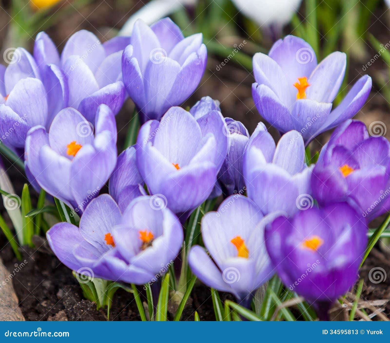 Crocus spring flowers stock photos image 34595813 blooming close crocus spring dhlflorist Choice Image