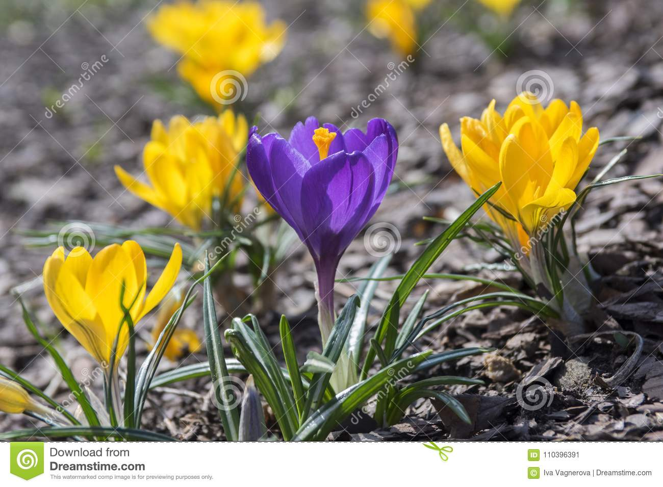 Crocus Vernus In Bloom Yellow And Purple Flowers Stock Image