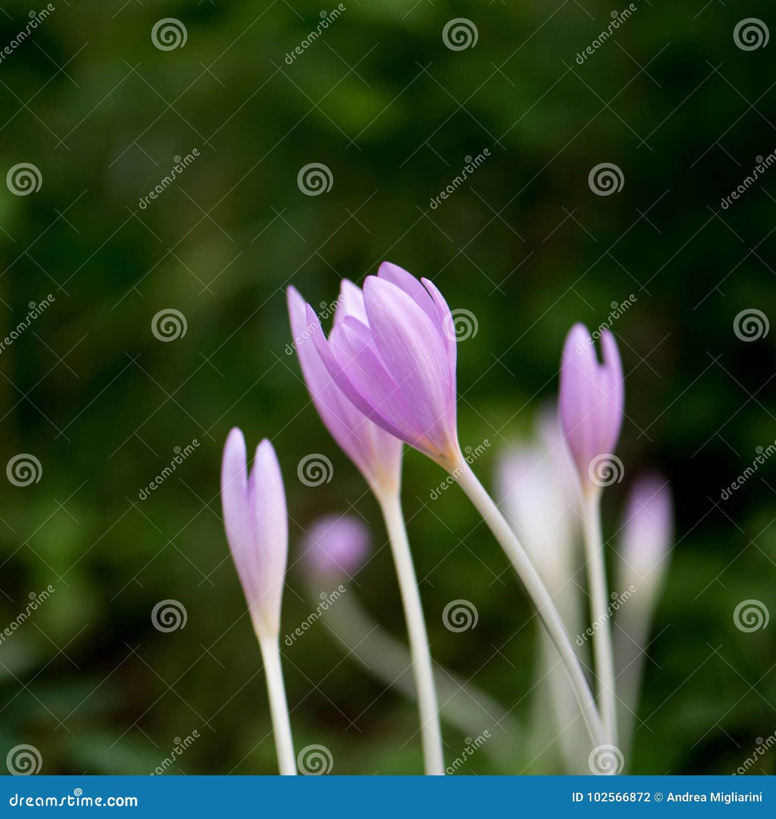 Crocus Vernus, natural flowers found in undergrowth of an alpine