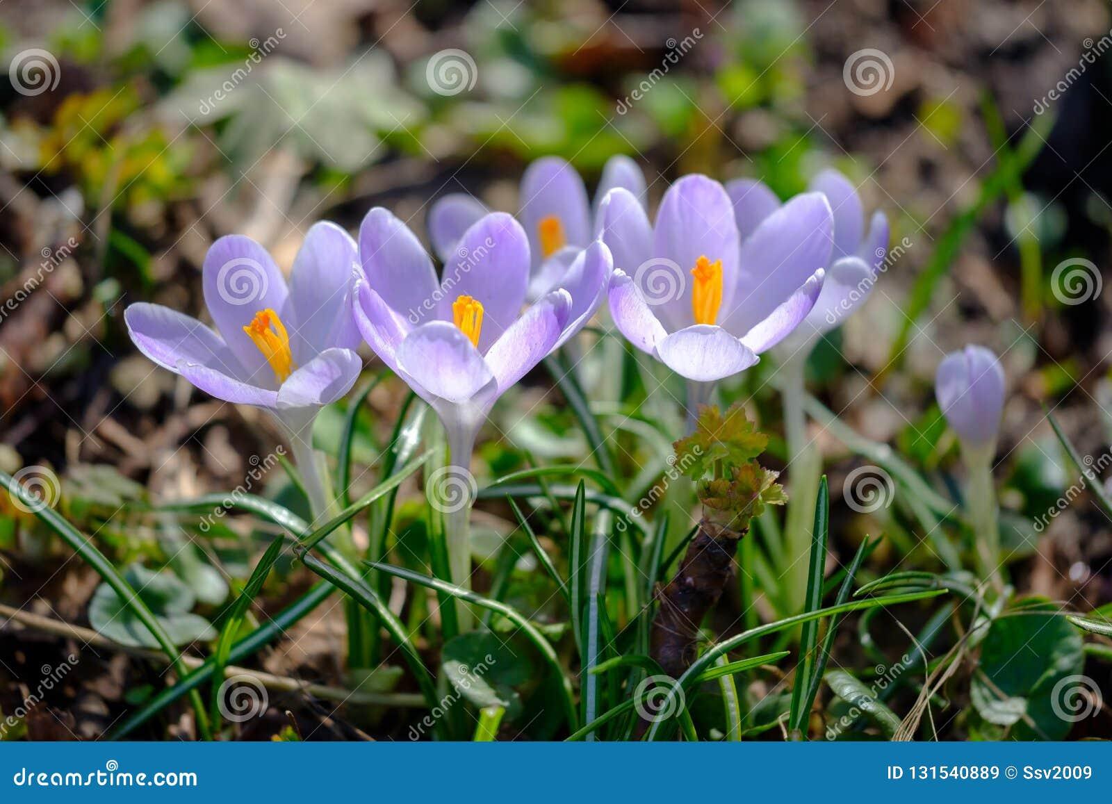 Crocus violets fleurissants sous la lumière du soleil lumineuse dans la forêt tôt de ressort
