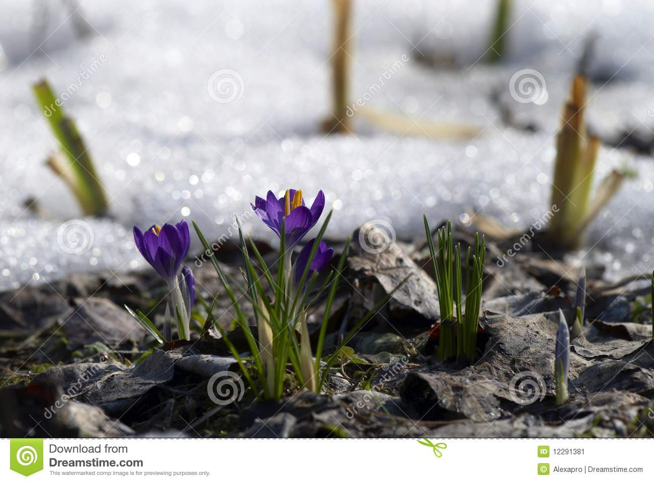 Crocuses In Early Spring Stock Image - Image: 12291381