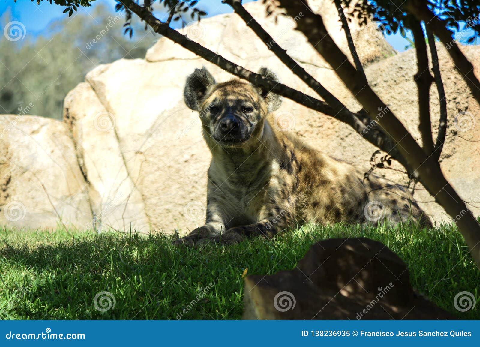 Crocuta repéré de Crocuta d hyène