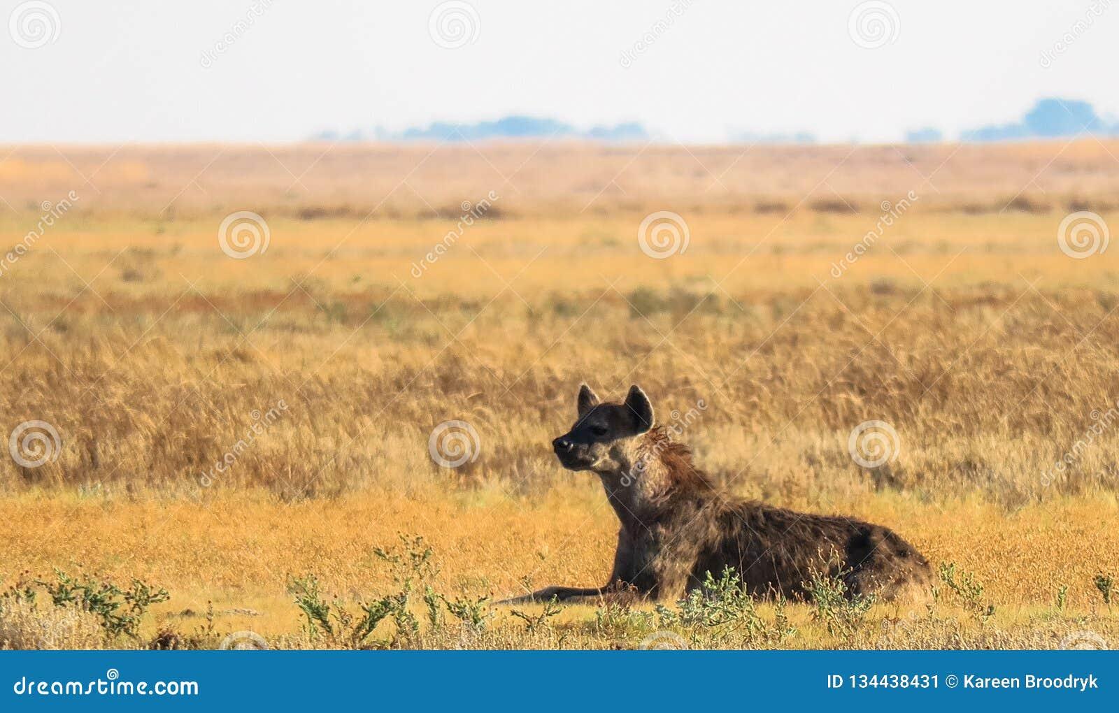 Crocuta repéré de crocuta de hyaena dans la prairie aux plaines de Liuwa, Zambie