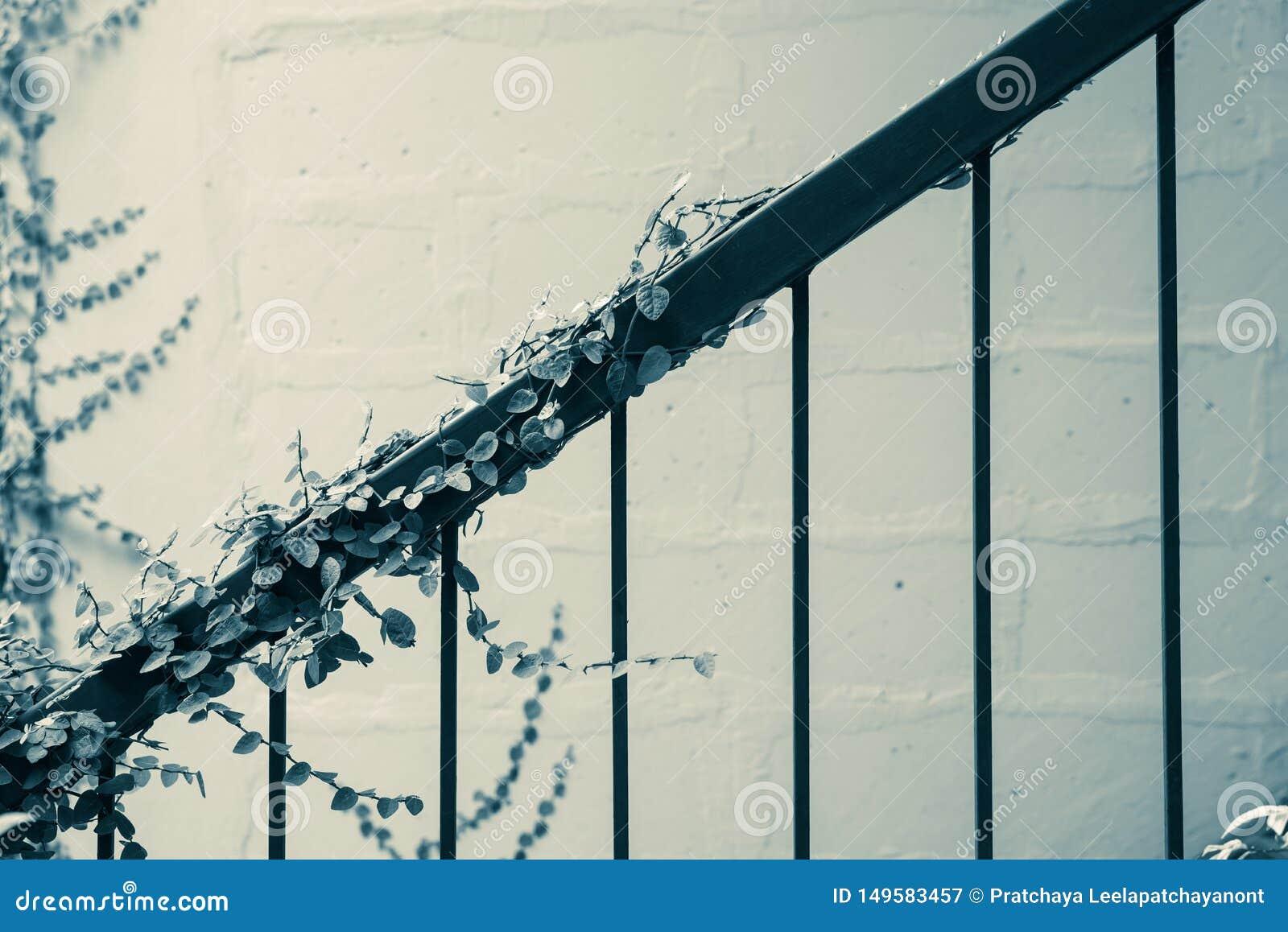 Croissance de plantes verte de lierre à la balustrade de cru Architectural extérieur