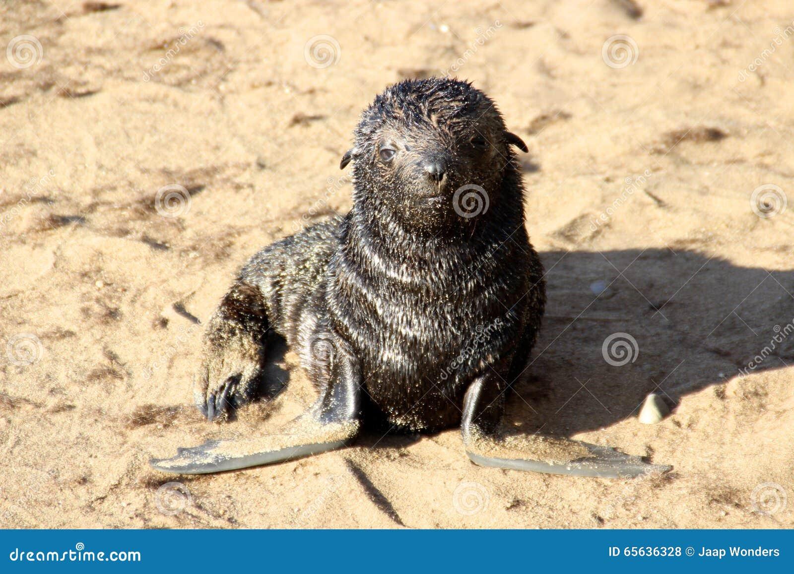 Croix Namibie Afrique de cap de bébé phoque