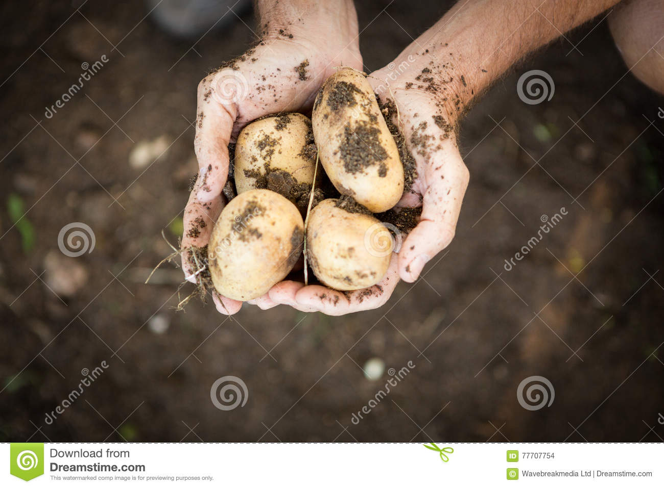 Cropped Image Of Gardener Holding Dirty Fresh Potatoes At Farm Stock ...