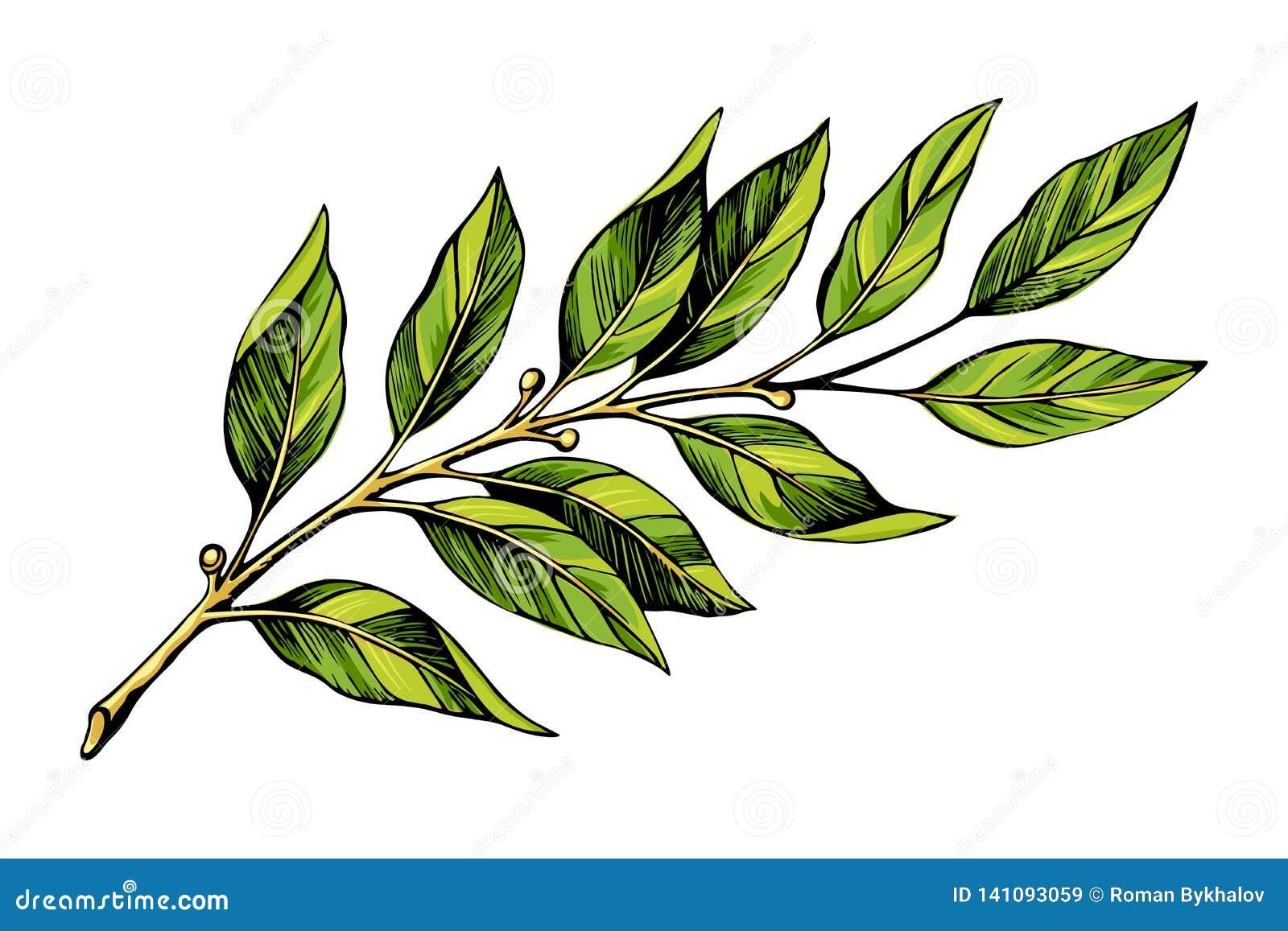 Croquis de couleur de branche de laurier
