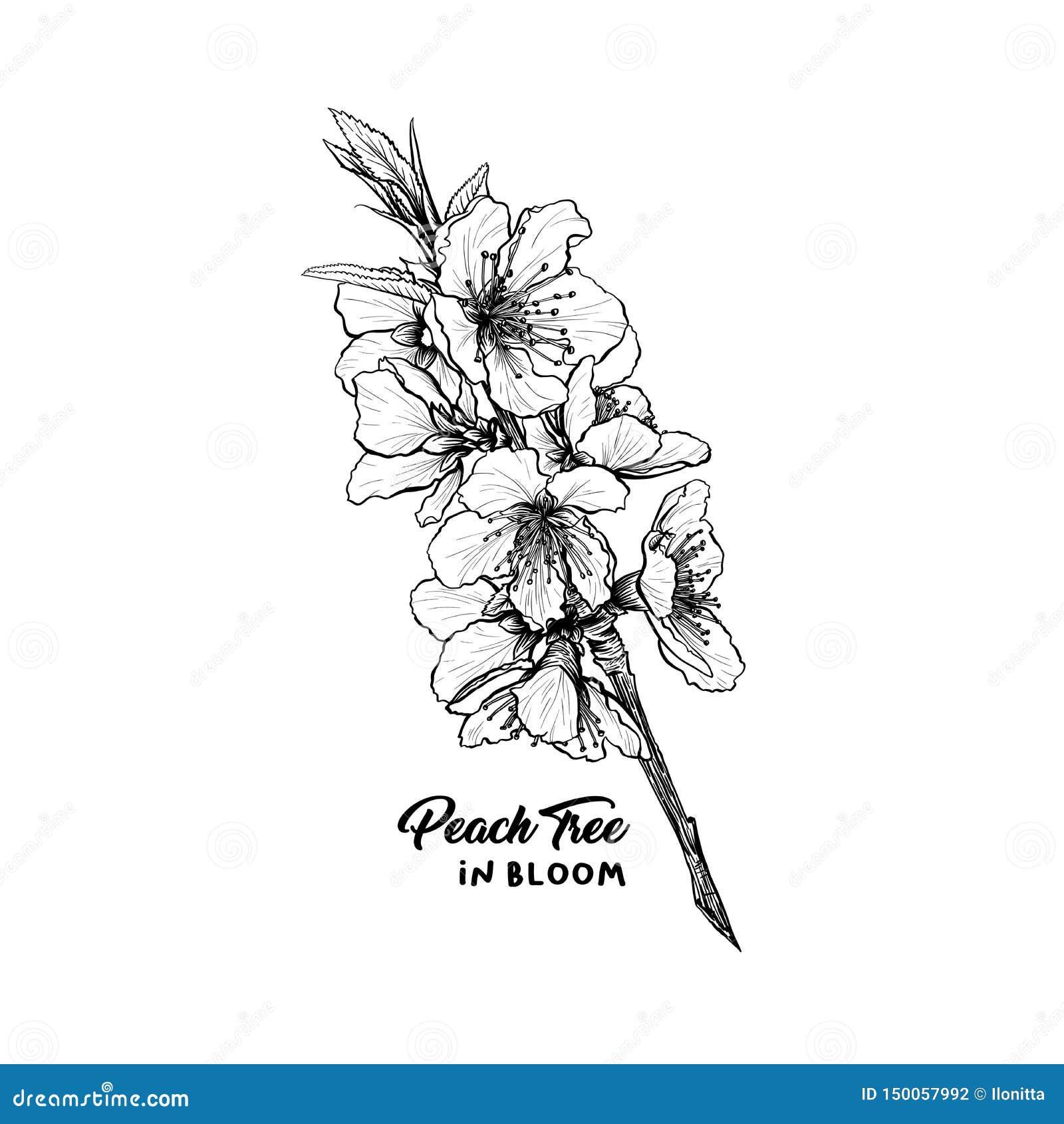 Croquis Tiré Par La Main D Illustration De Fleurs De Pêche