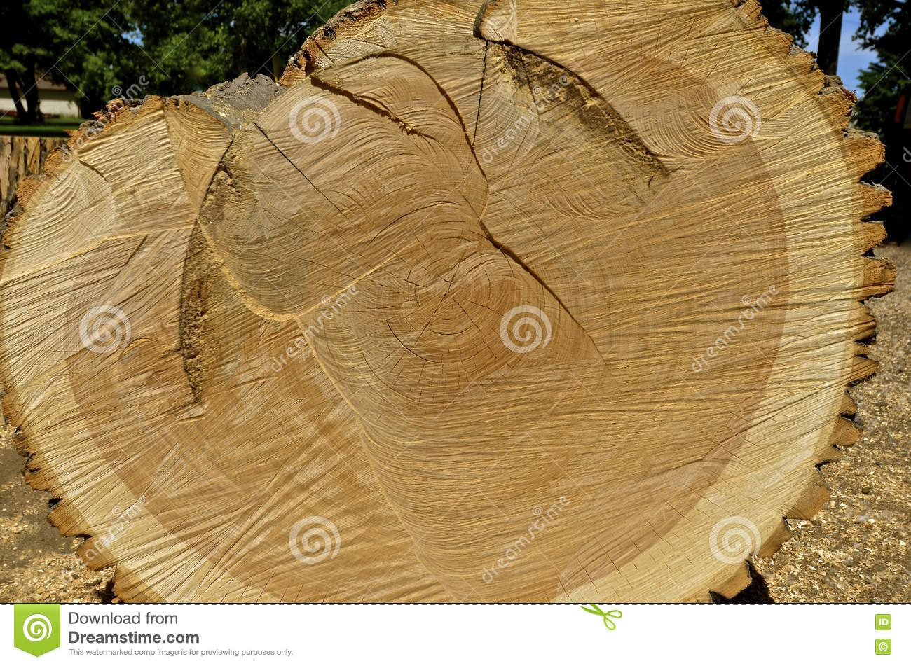 Cross Cut Section Of An Ash Tree Stock Image Image 72986201