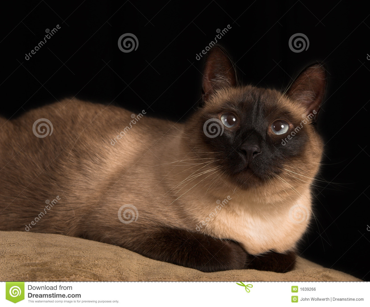 Blue And Borwn Eyed Cat