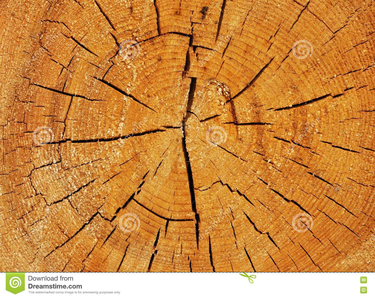 Cross Section Of Big Tree Trunk Stock Photo Image Of