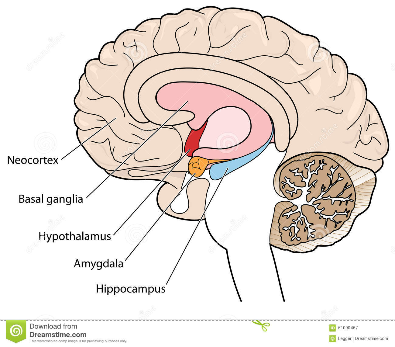 cross section of brain showing the basal ganglia and hypothalamus