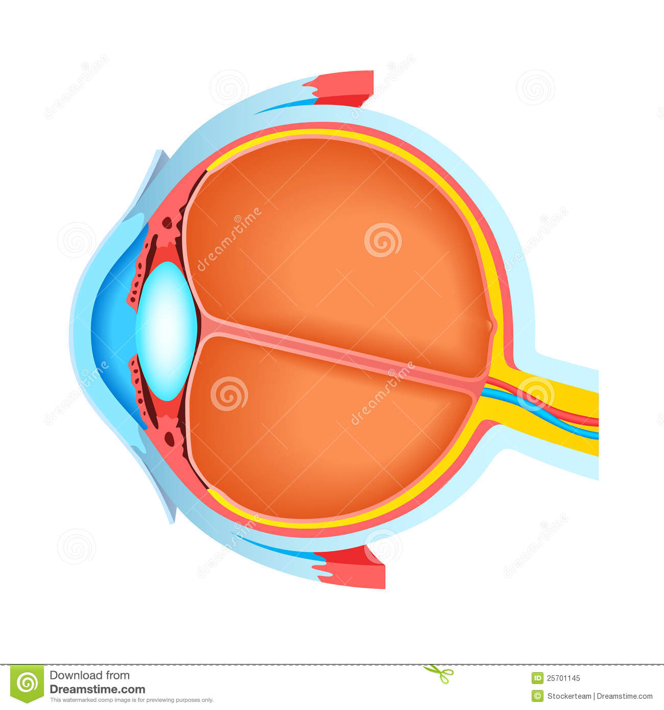 Cross section of human eye stock illustration illustration of cross section of human eye pooptronica