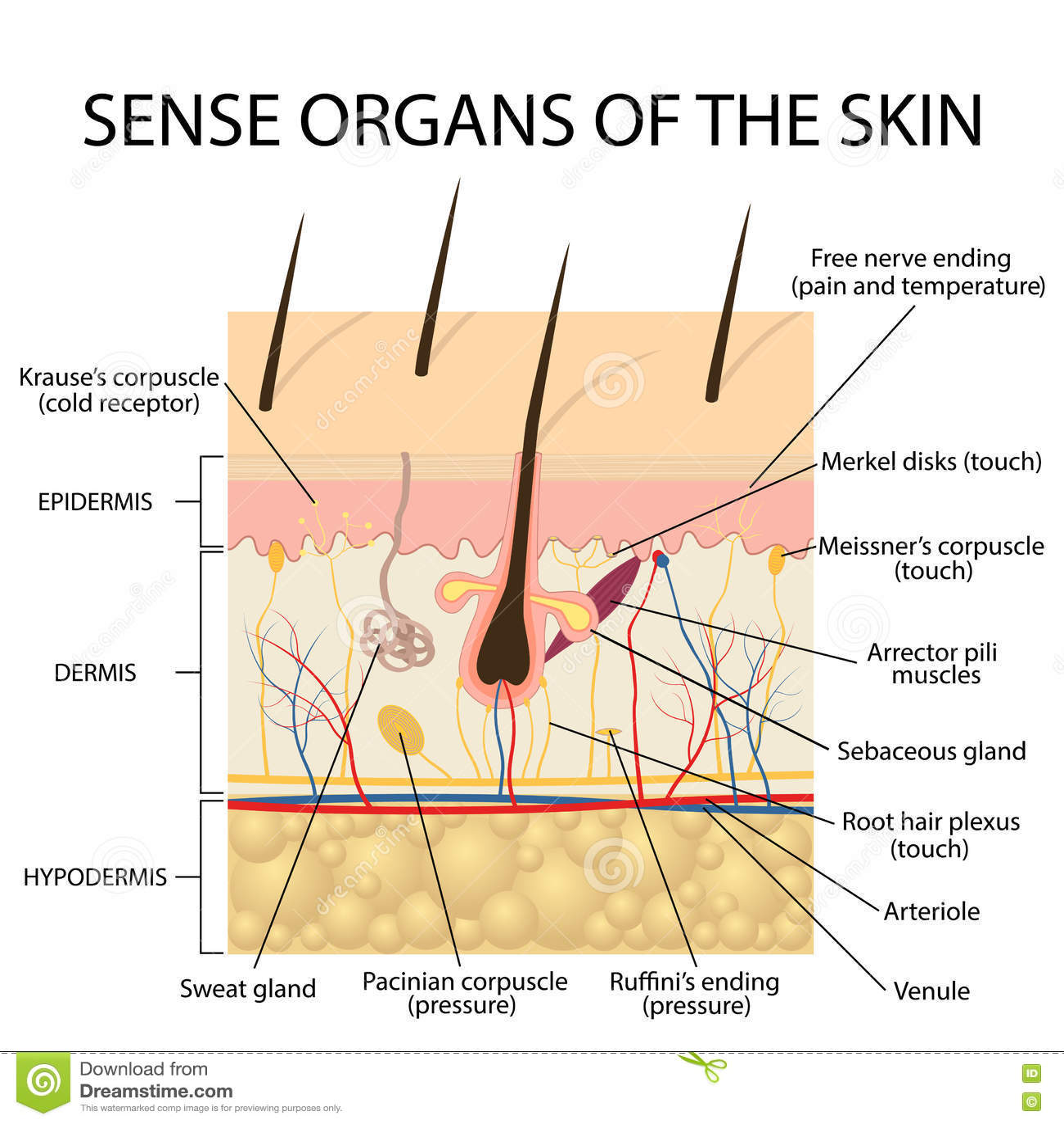 de lagen van de huid