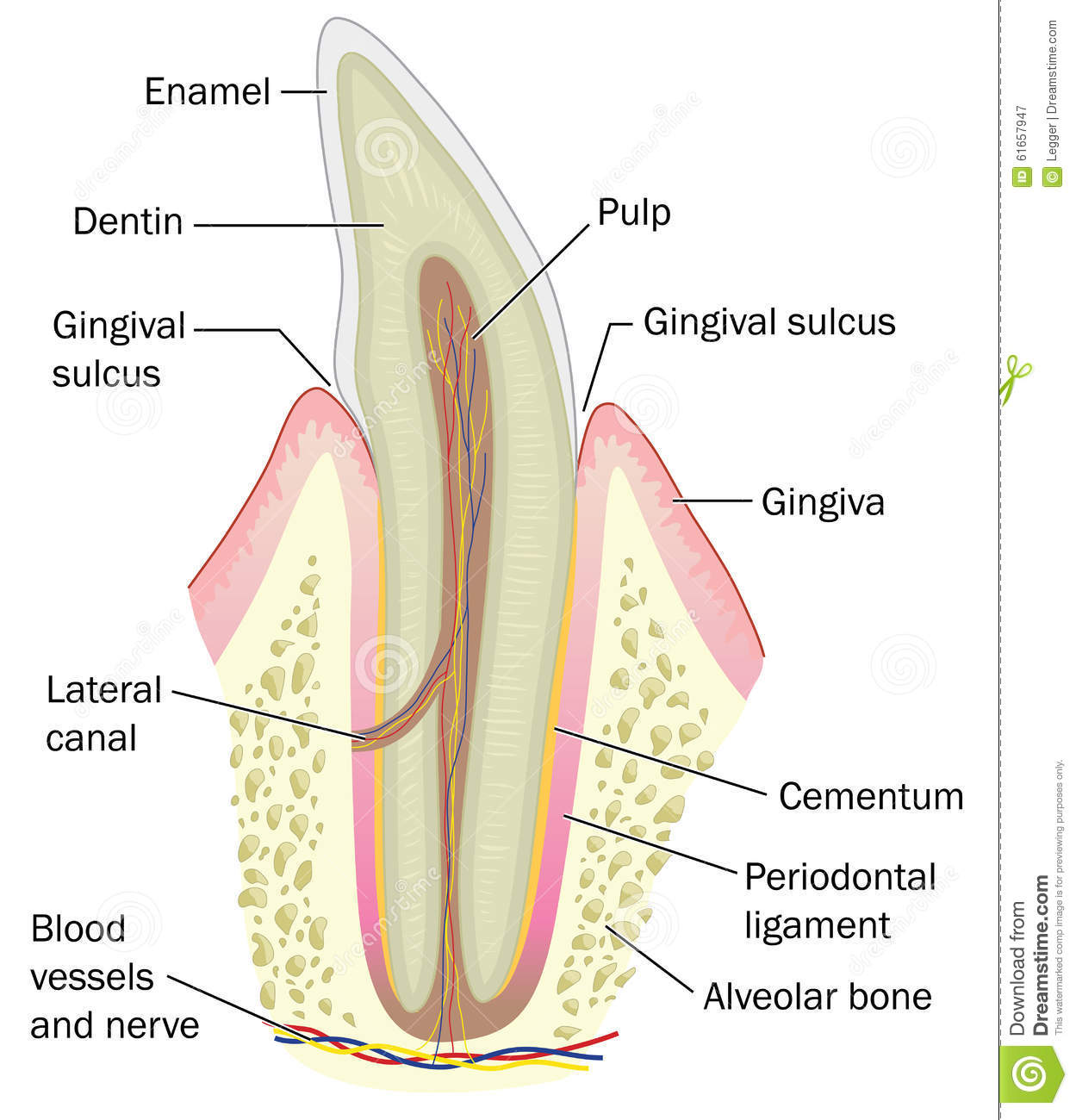 Cross Section Of Incisor Tooth Stock Vector Illustration Of Bone