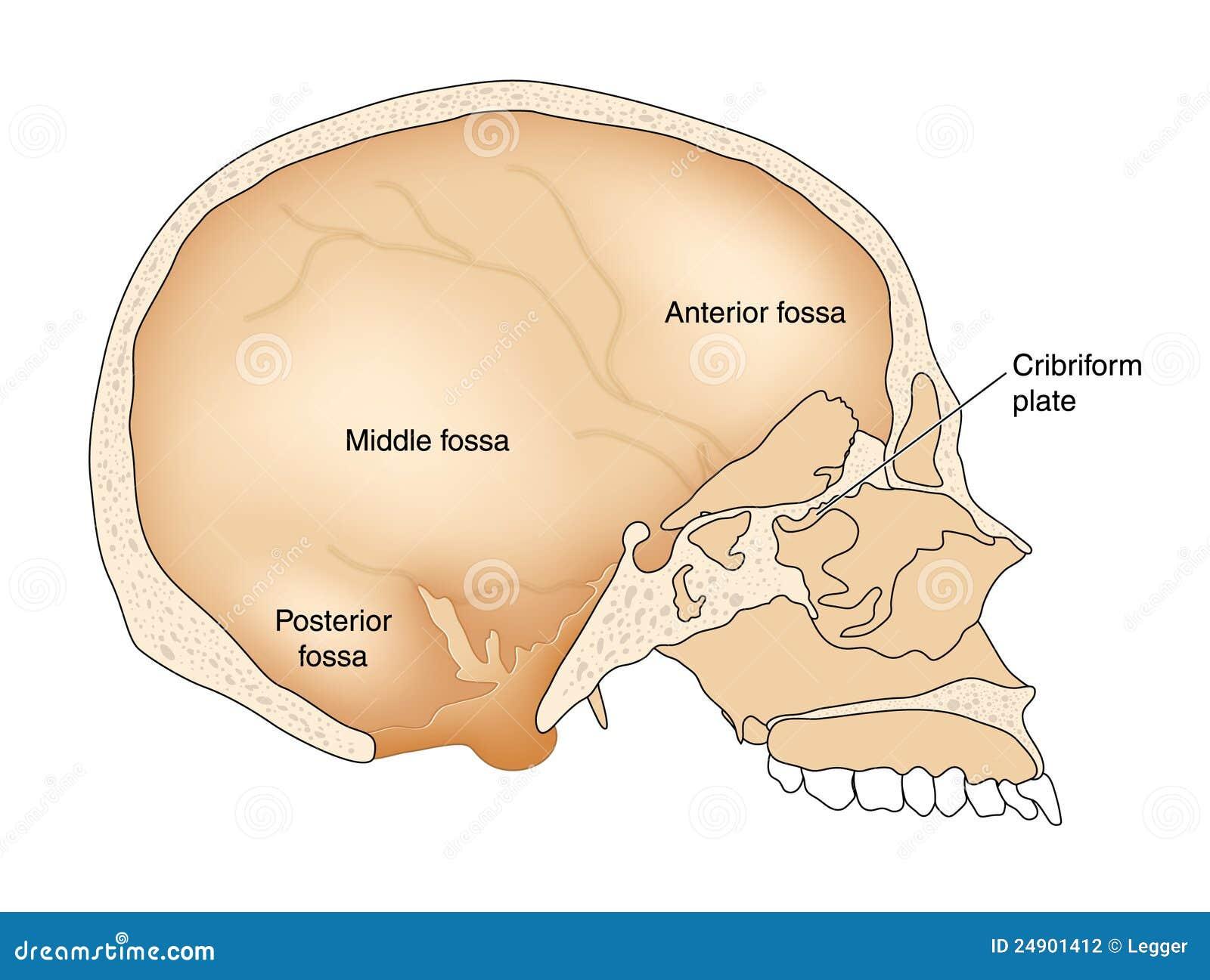 Cross Section Through Skull Stock Illustration - Illustration of ...