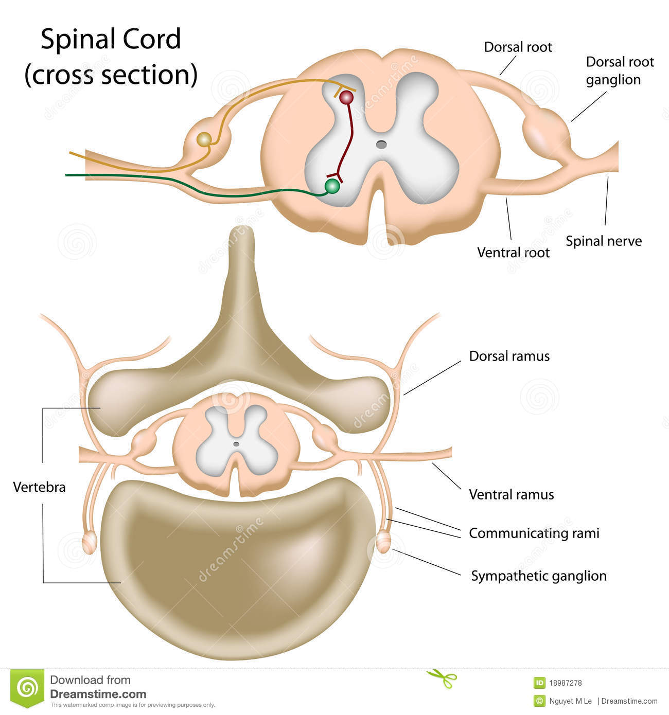 Cross Section Of The Spinal Cord Stock Vector Illustration Of