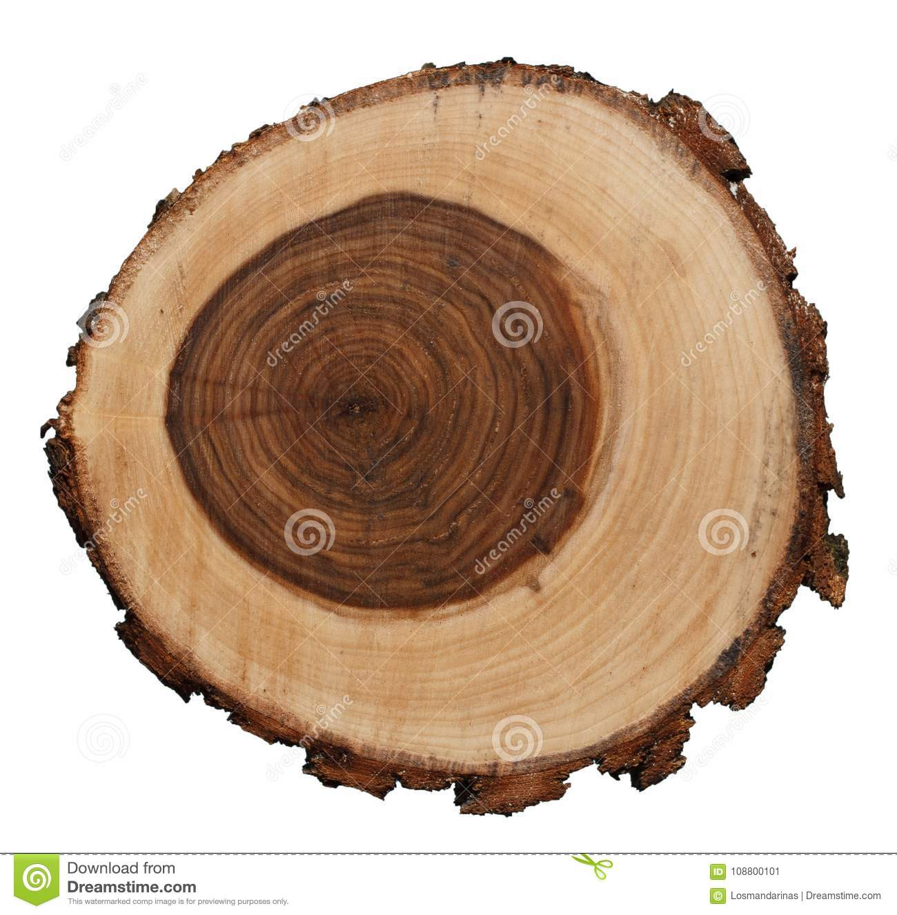 Cross section of Weeping Willow tree trunk isolated on white background