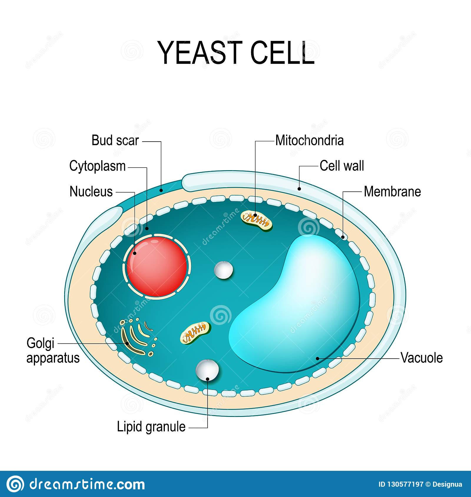 enzymatic fuel cell diagram cross section of a yeast cell. structure of fungal cell ...