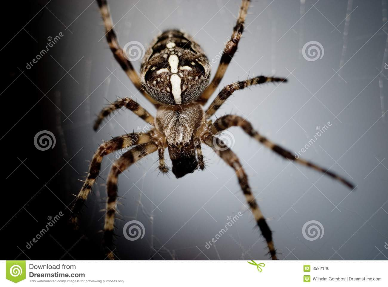 Black and yellow striped spider