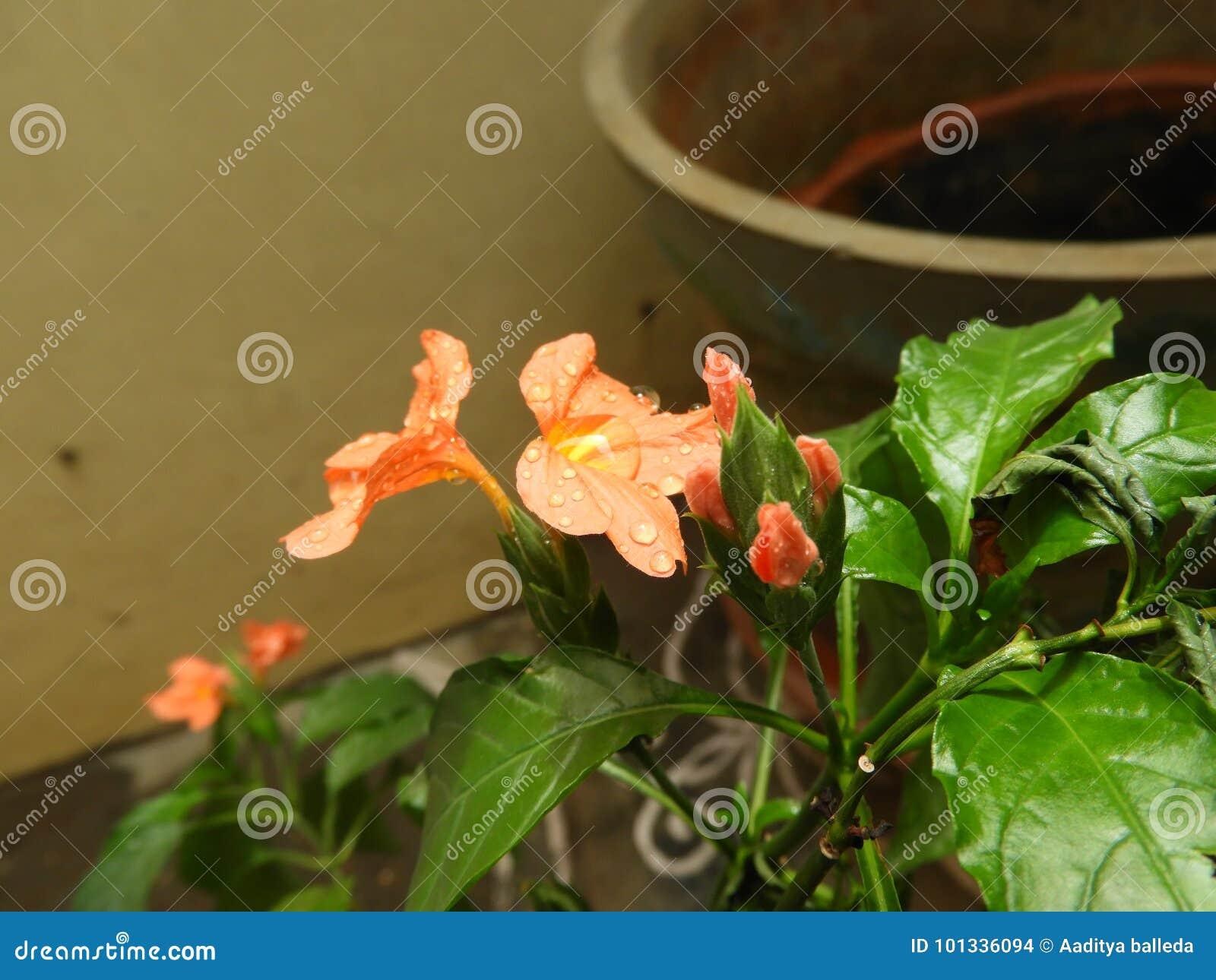 Crossandra Infundibuliformis Orange Flower With Raindrops Stock