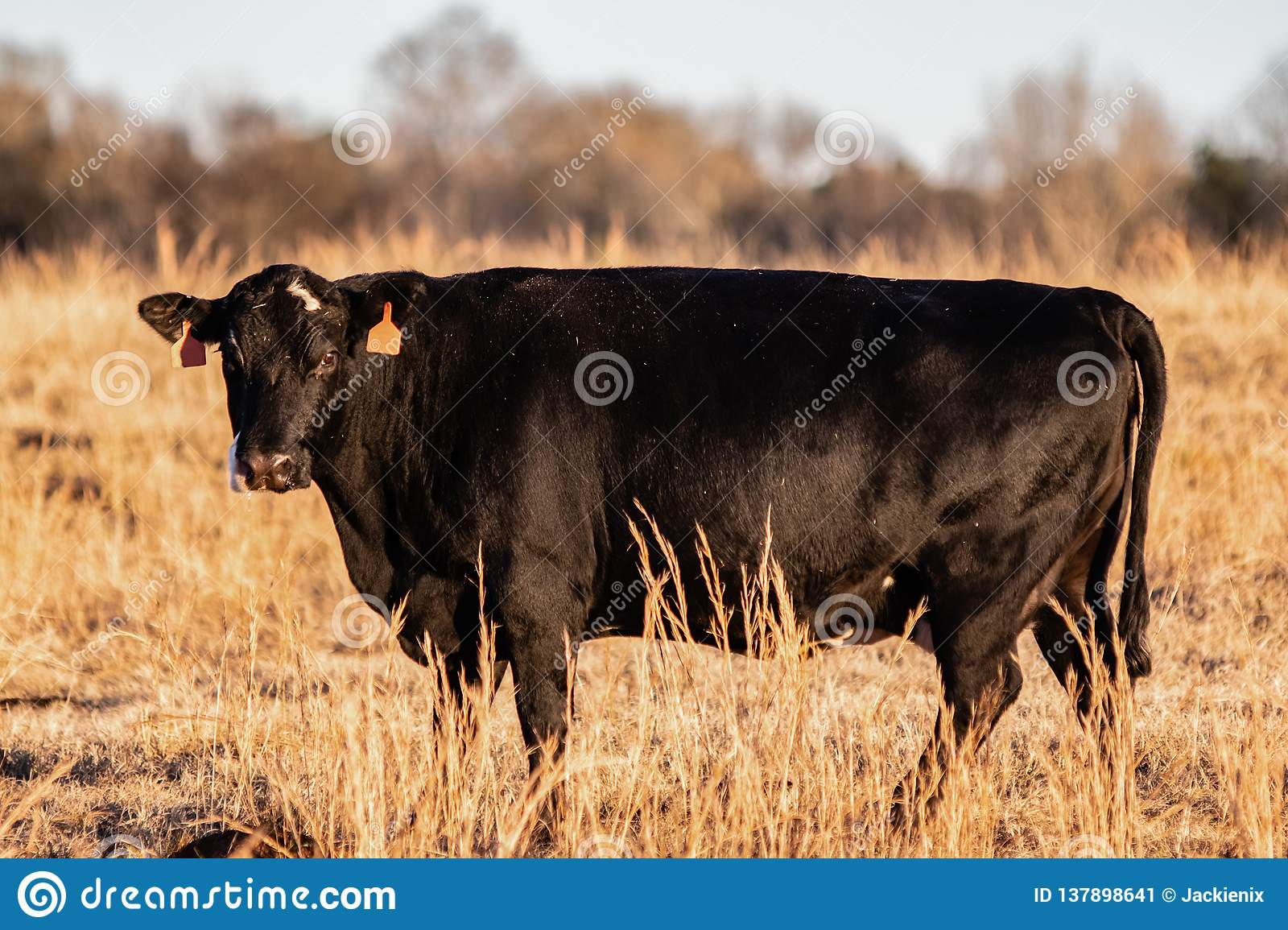 Crossbred Angus beef cow in a dormant brown pasture