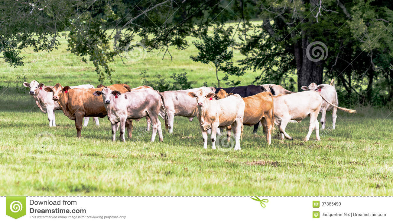 Crossbred heifers in a southern pasture