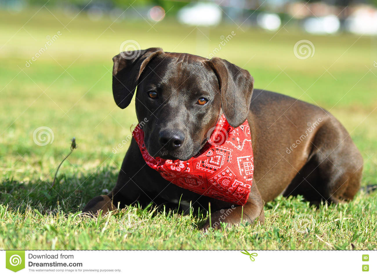 A Crossbreed American Staffordshire Terrier Laying Down