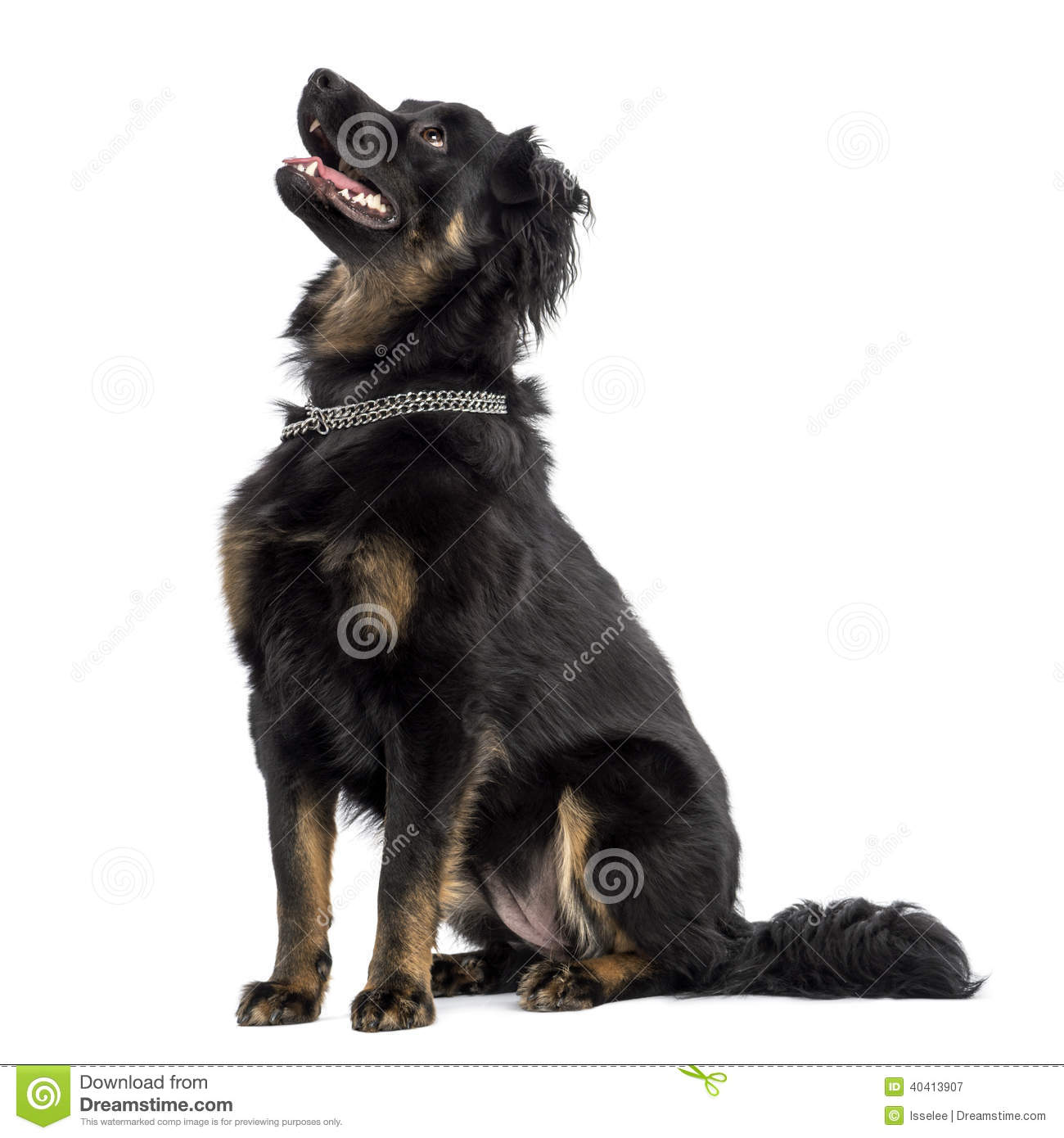 crossbreed dog sitting  panting  looking up  isolated man yawning clipart yawning clipart gif