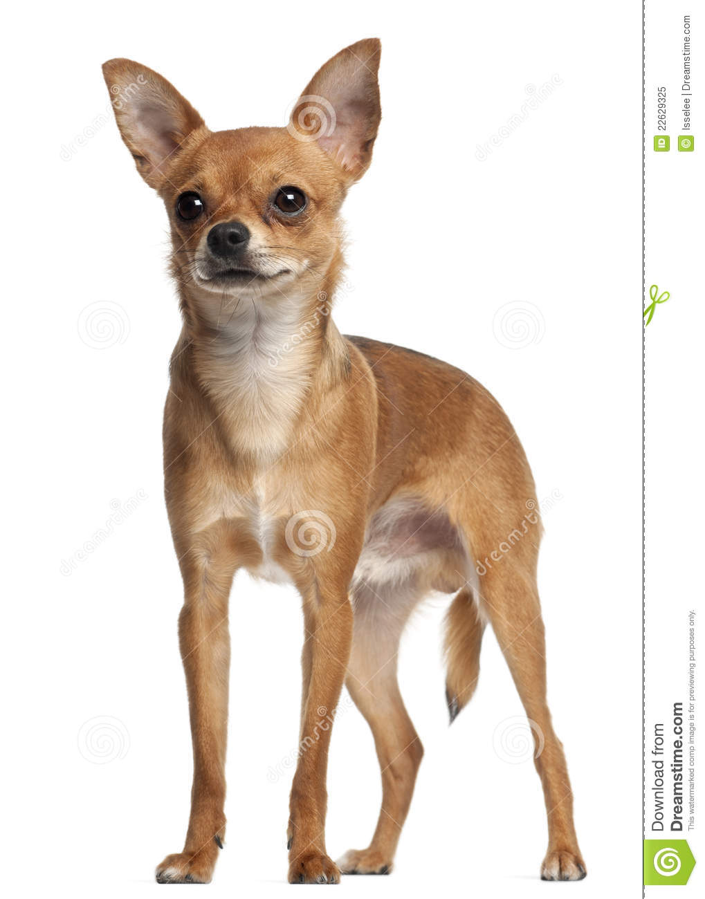 Crossbreed Dog Standing In Front Of White Royalty Free Stock Photo ...