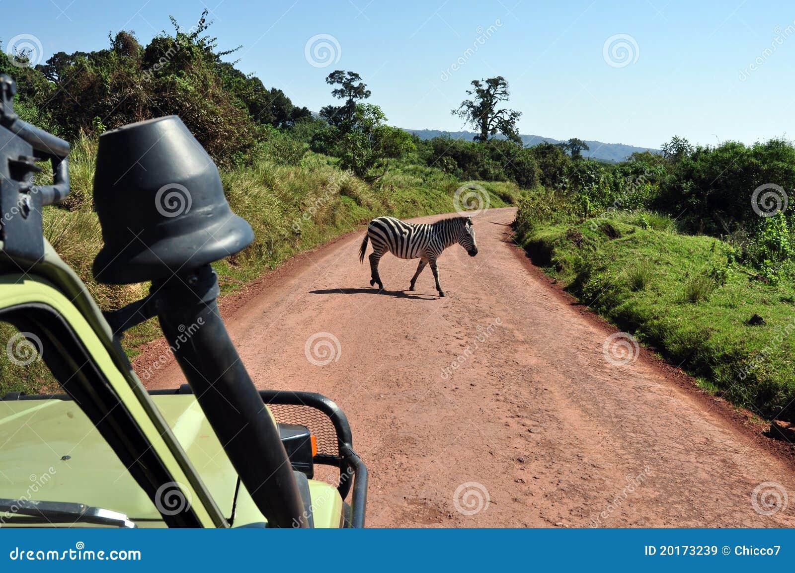 Crossing zebra from a safari jeep