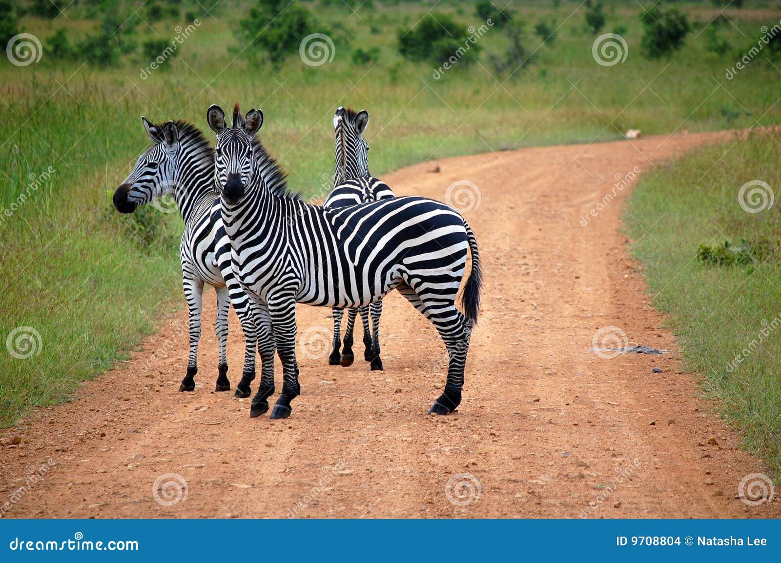 Crossingsafarisebra