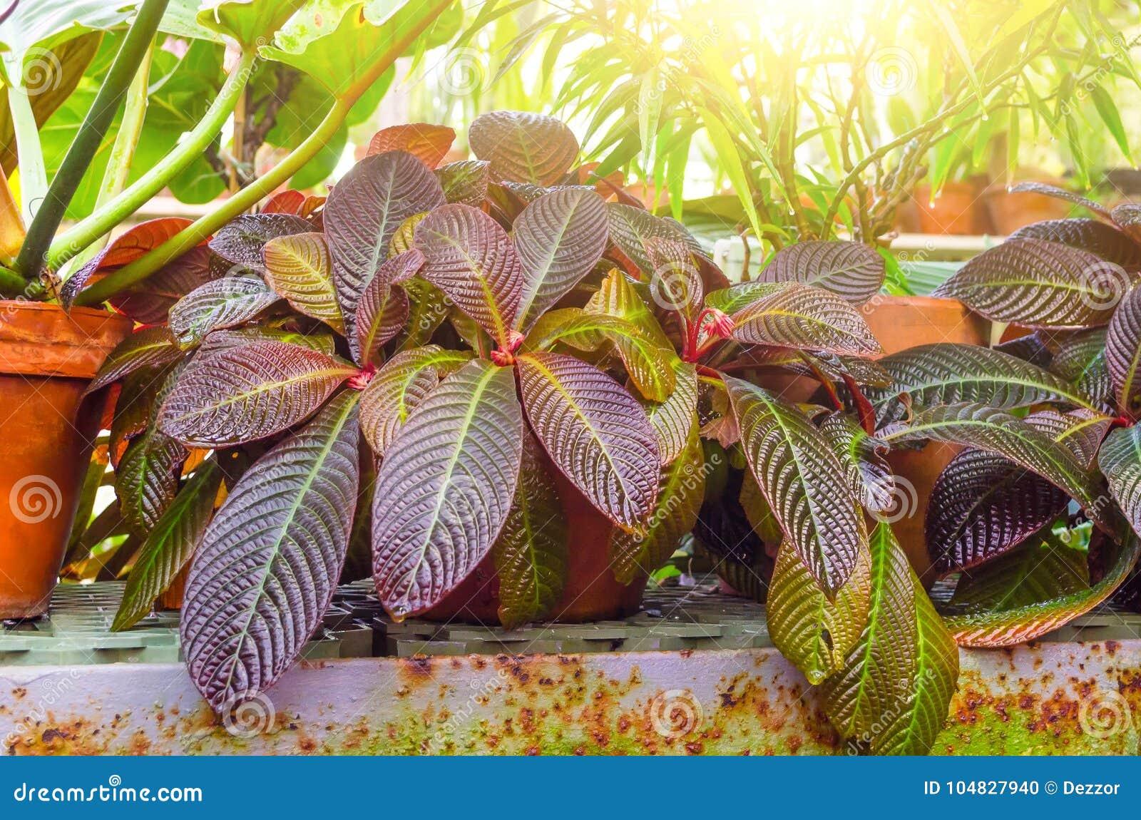 Croton Codiaeum Variegatum Plants With Colorful Leaves In Tropical ...
