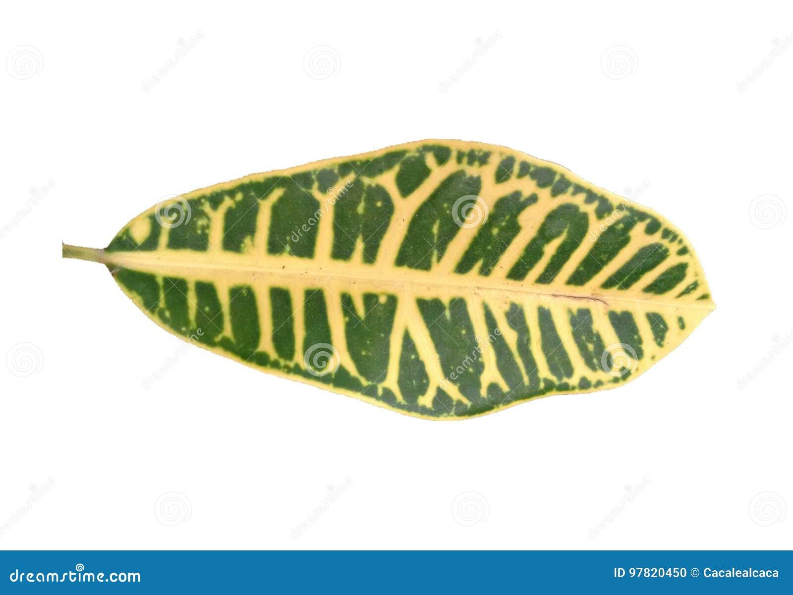 Croton leaf - Green