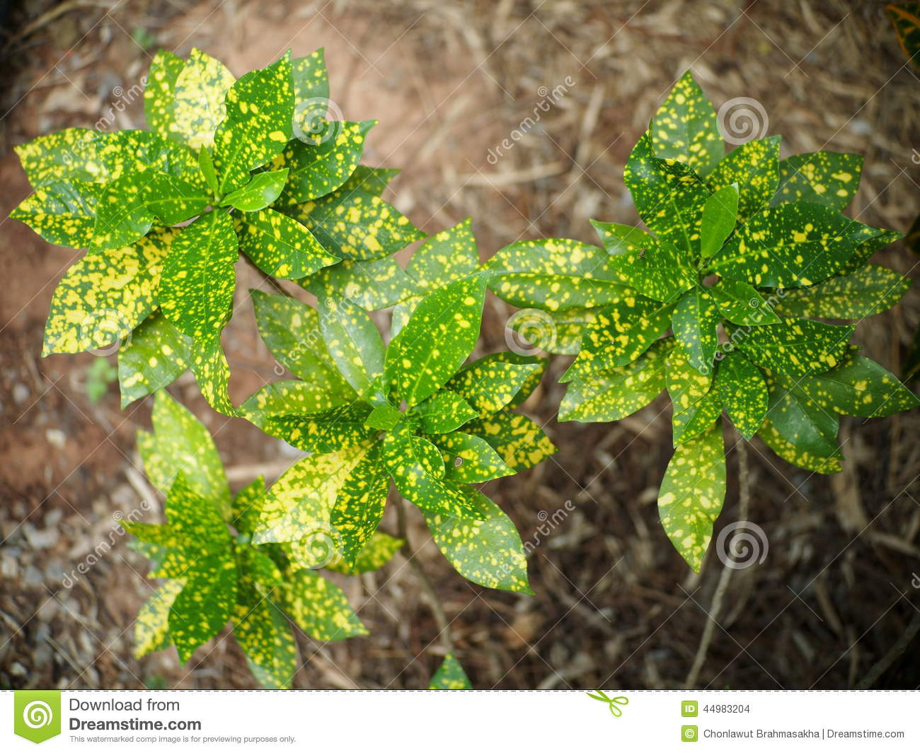Croton stock photo image 44983204 for Small green outdoor plants