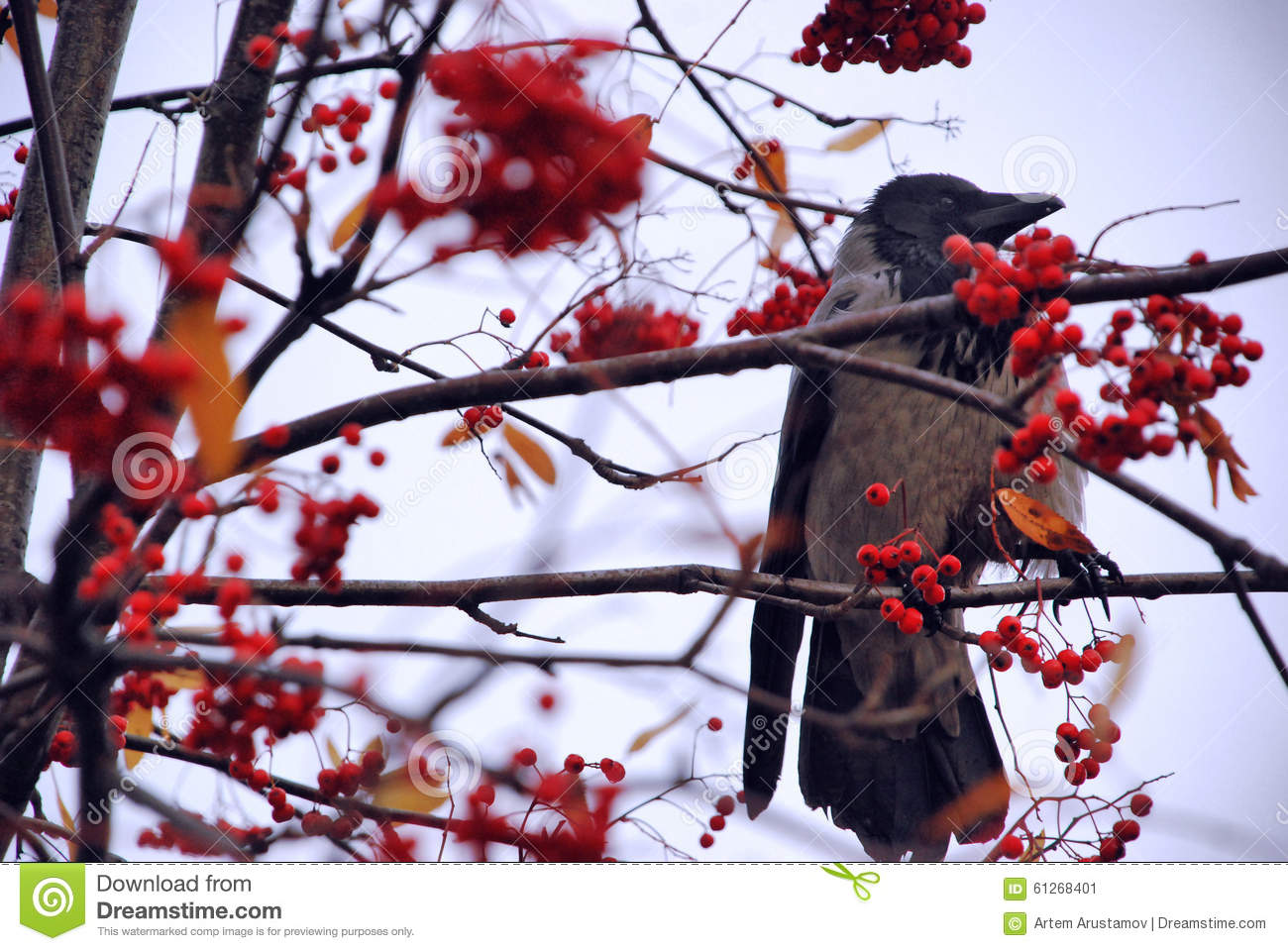 Crow Bird On A Tree With Fruits Stock Image - Image of ...