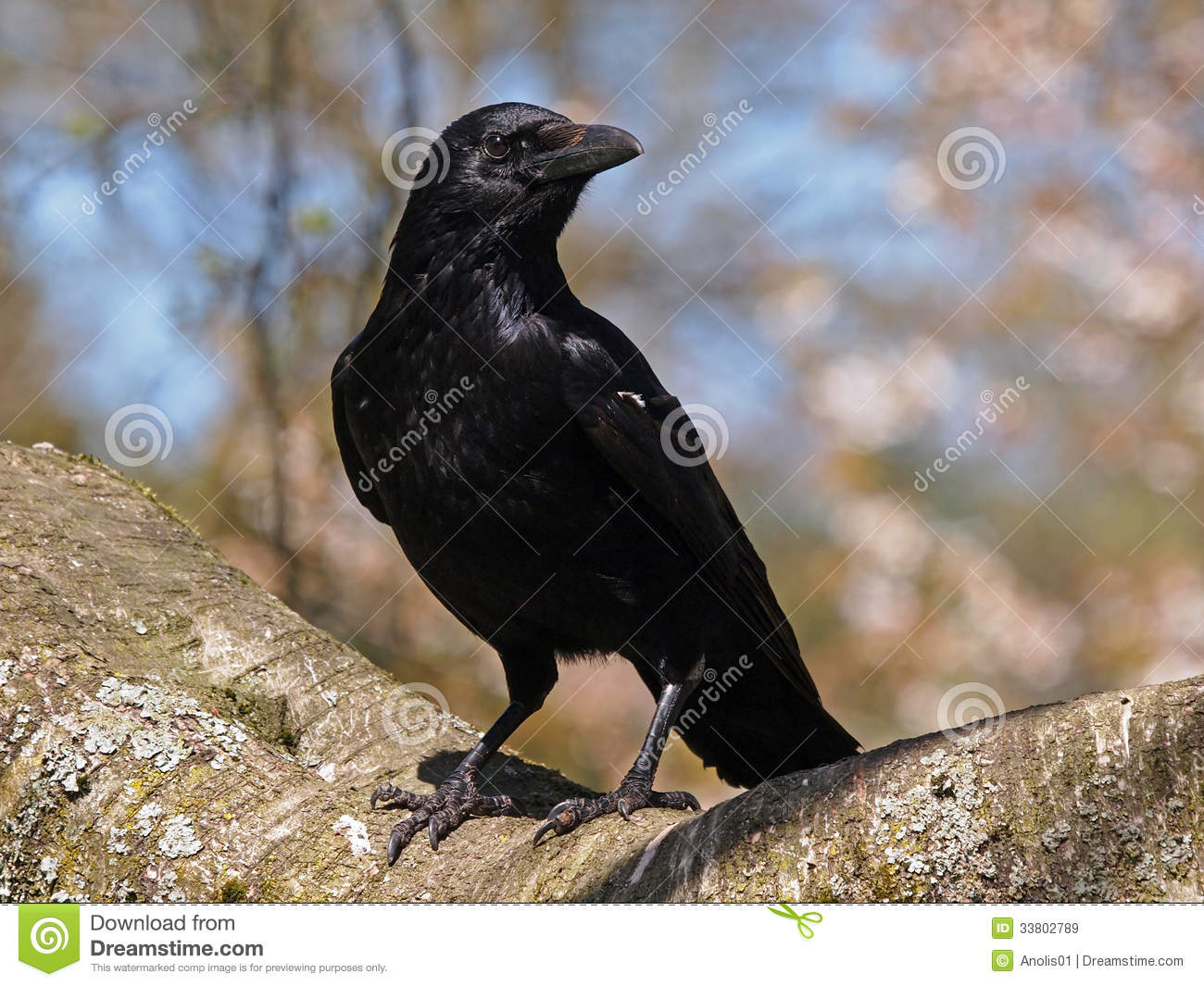 Three black crows sat on a tree