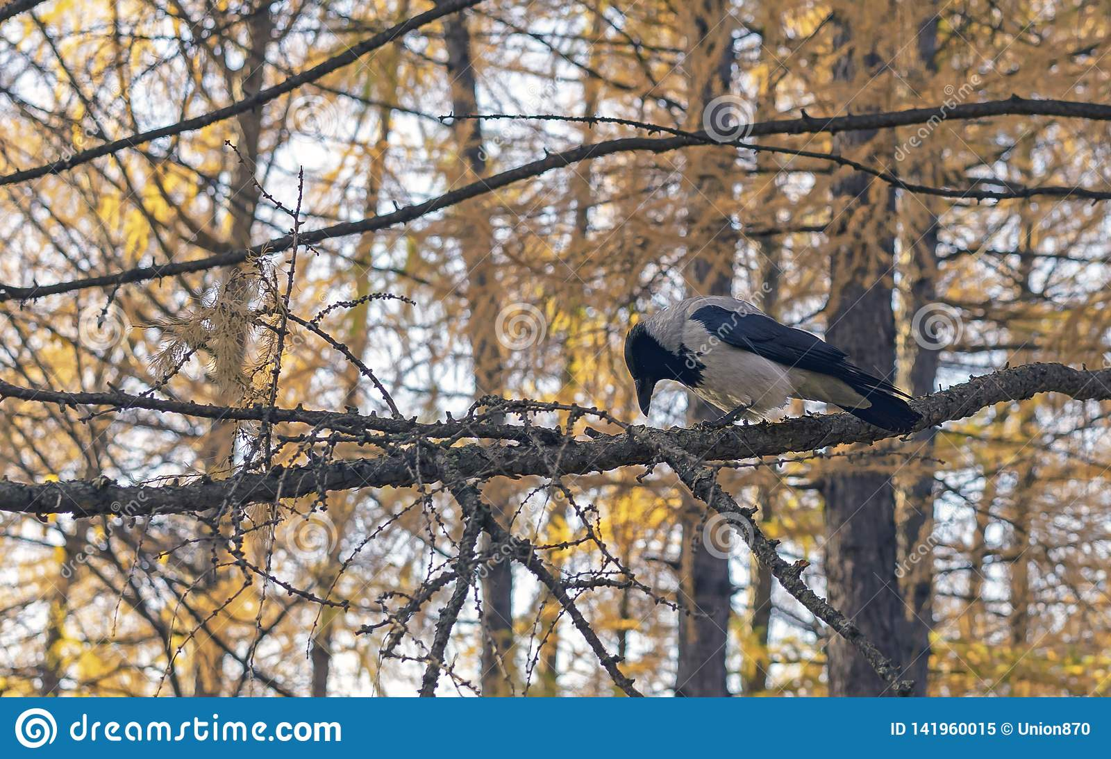 A crow sits on a tree branch in the autumn forest