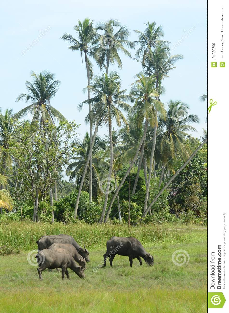 a crowd of buffalo eat grass under the coconut tree stock image