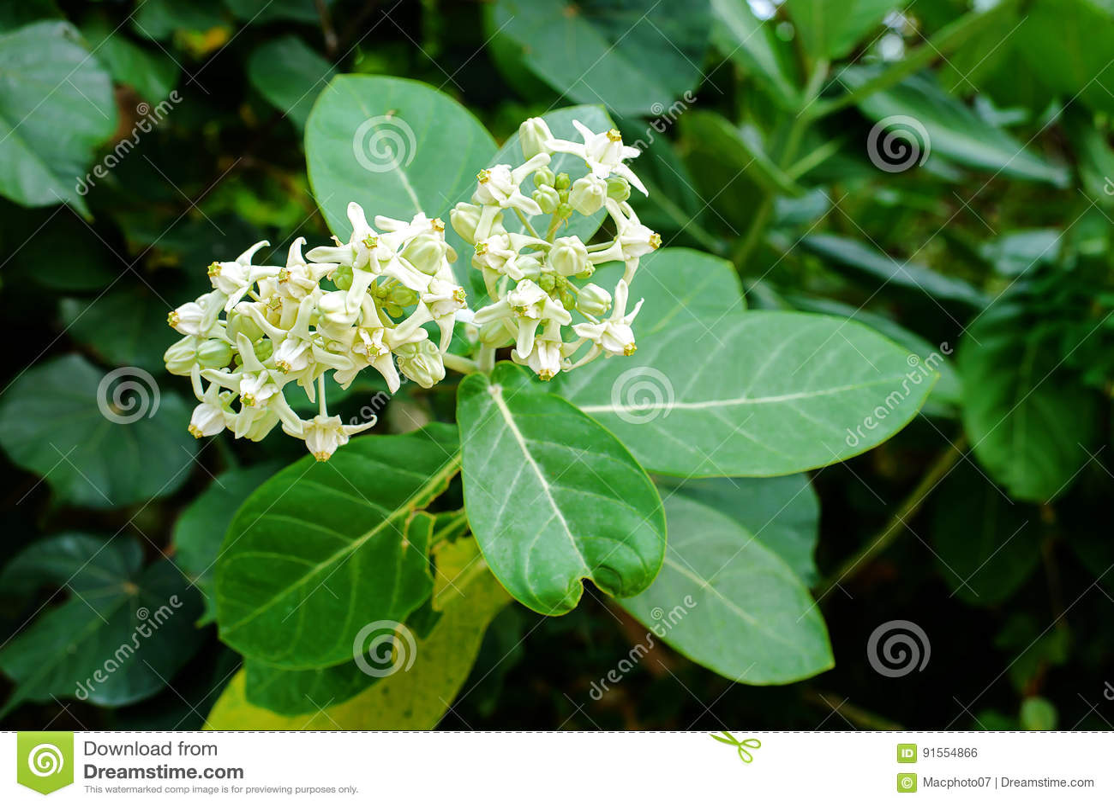 Crown Flower Blooming On The Tree Calotropis Gigantea Stock Photo