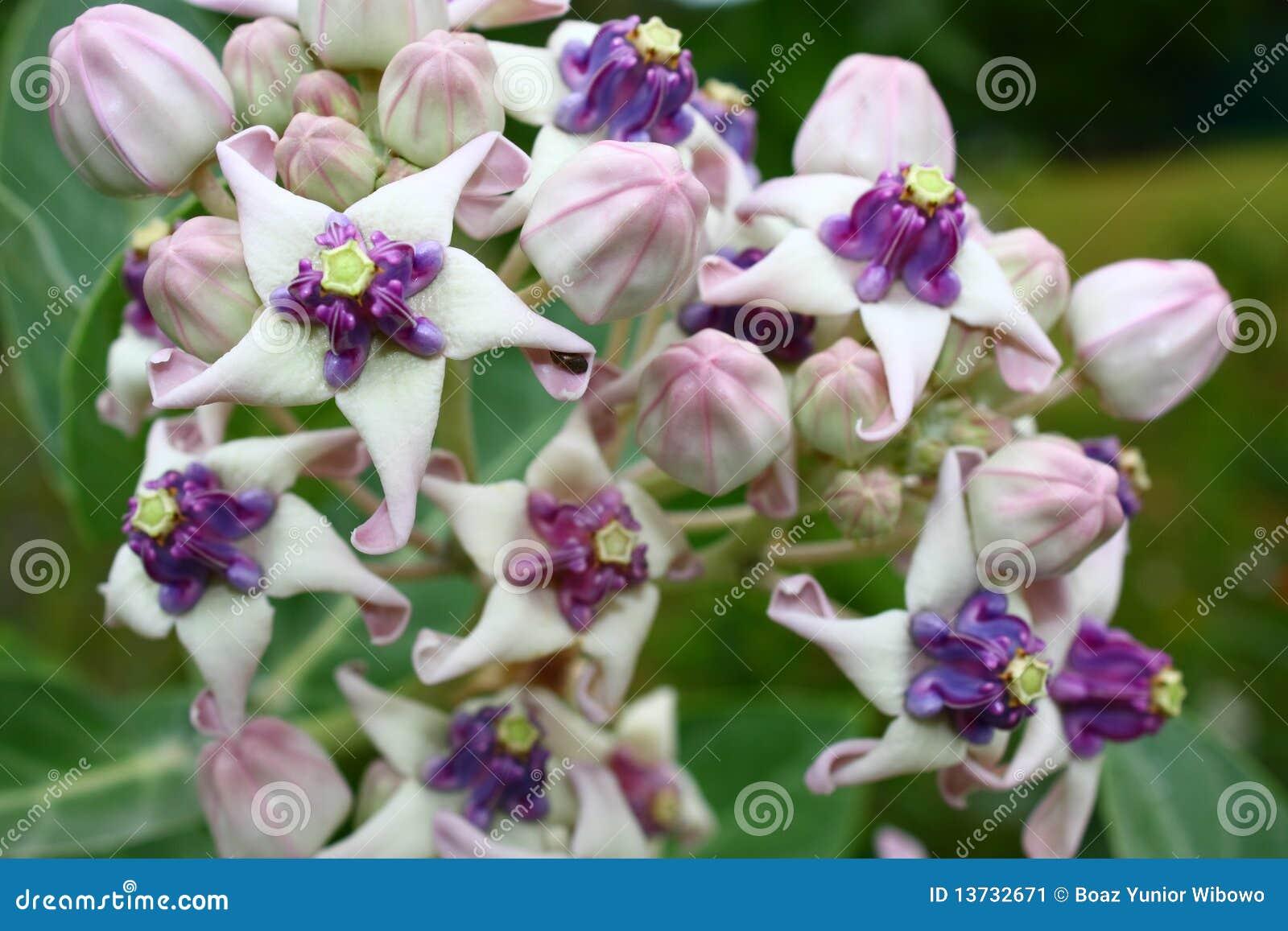 Crown Flower Calotropis Gigantea Stock Images 530 Photos
