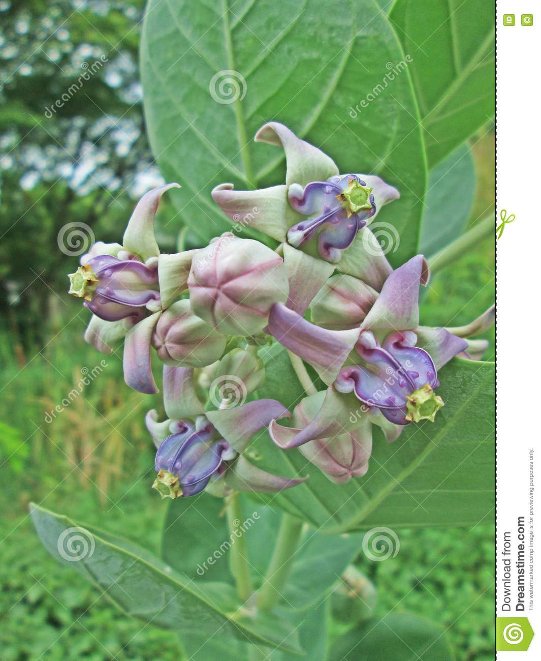 Crown Flower Stock Image Image Of Indian Green Bloom 72149581