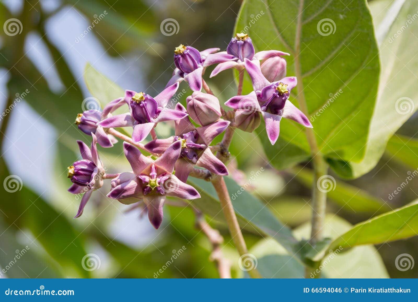 Crown Flower Tree Stock Photo Image Of Grove Crown 66594046