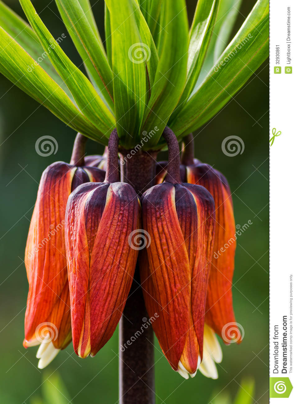 Crown Imperial Flower Kaiserkrone Stock Image Image Of Garden